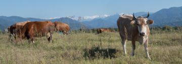 krowa-batumi