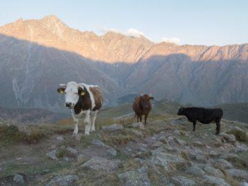 krowy-kazbegi