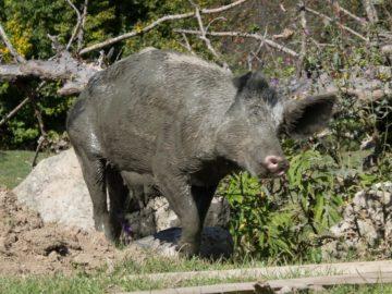 swinia-w-blocie