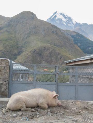 swinia-w-bramie