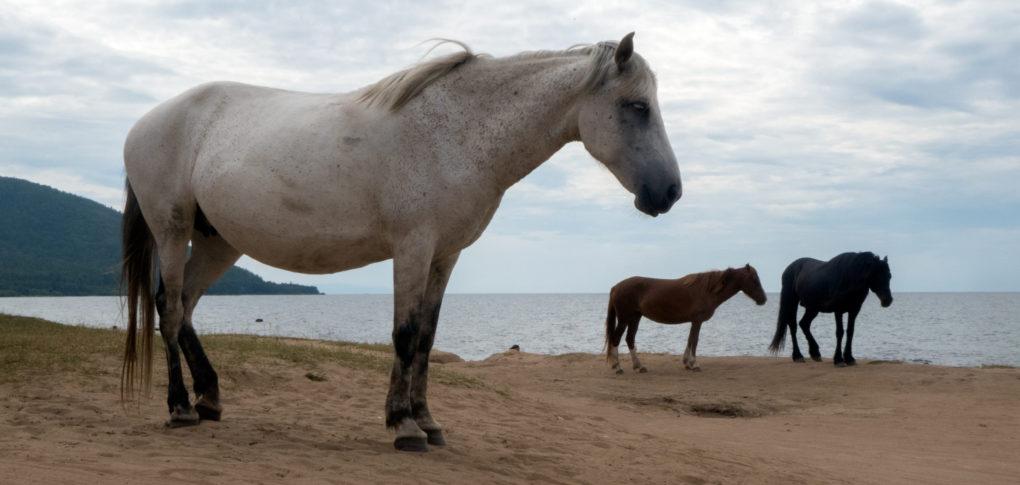 konie-nad-bajkalem