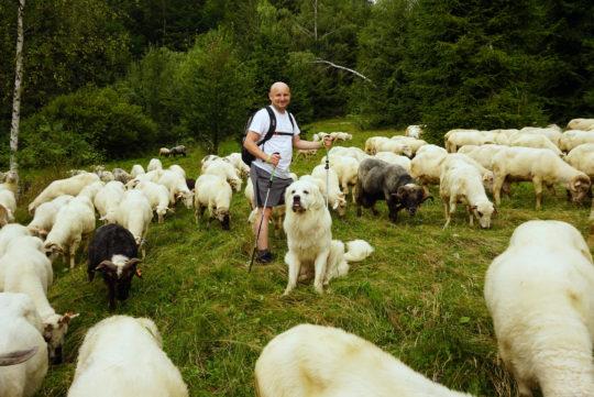 owce-na-szlaku