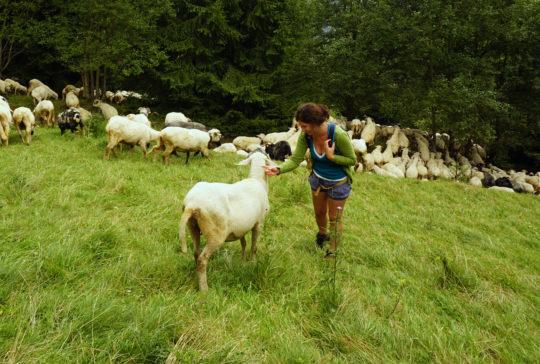 stado-owiec